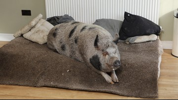 Couple's Micro Pig Weighs Almost 400 pounds