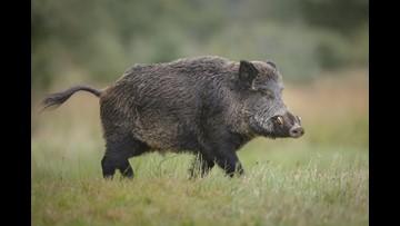 270-pound wild boar captured in Texas backyard