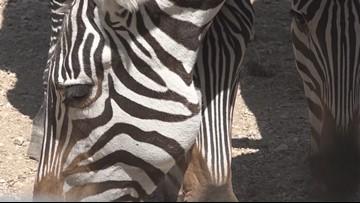 Photographer captures rare spotted zebra foal in Kenya