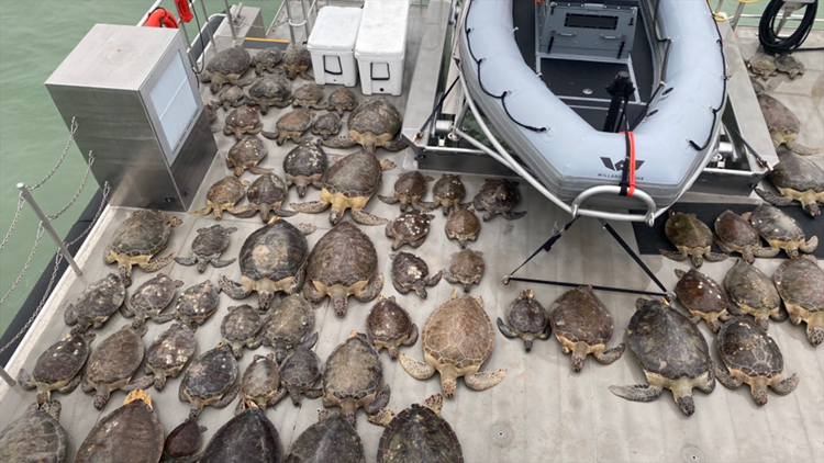 141 sea turtles rescued from frigid Texas waters