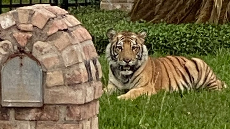 Man who escaped with pet tiger is out on bond for murder in Texas, police say