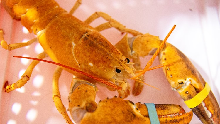 Extremely rare, orange lobster saved from being a meal at an Arizona restaurant