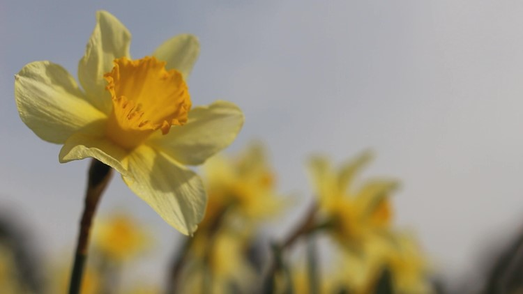 Gloucester plans small, in-person Daffodil Festival for March, 2021
