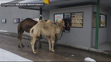 A couple of camels go for a stroll in small Colorado town
