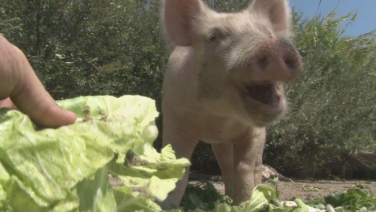 Swim with pigs on Pig Island