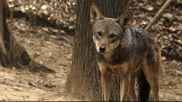 Red wolf experiment left lasting legacy in Smoky Mountains
