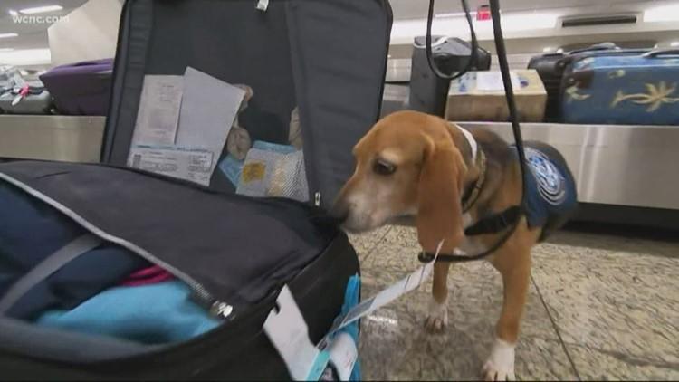 Beagle Brigade used at airports to protect food supply
