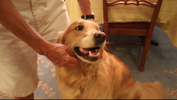 She's more than just man's best friend. Meet Ginger. Her 'number one job is to make somebody smile.'
