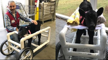 Lowe's employee in NC builds custom wheelchair for injured calf