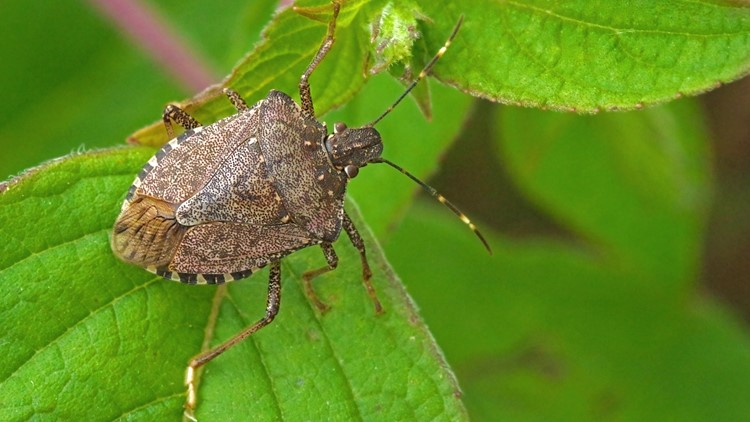 The stink bugs are coming! How to keep these pests out of your house