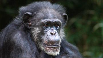 NC Zoo's Alpha Female Chimpanzee 'Maggie' dies at 46