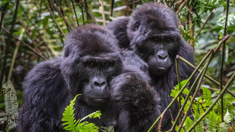 VERIFY: This viral post about gorillas dismantling poaching traps is true