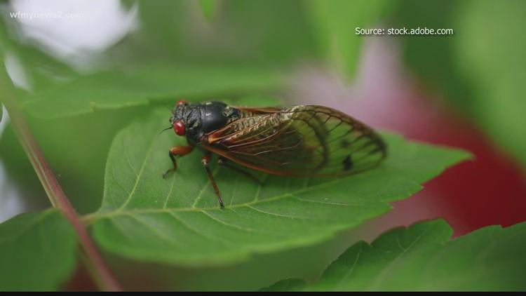 Cicadas emerging in North Carolina