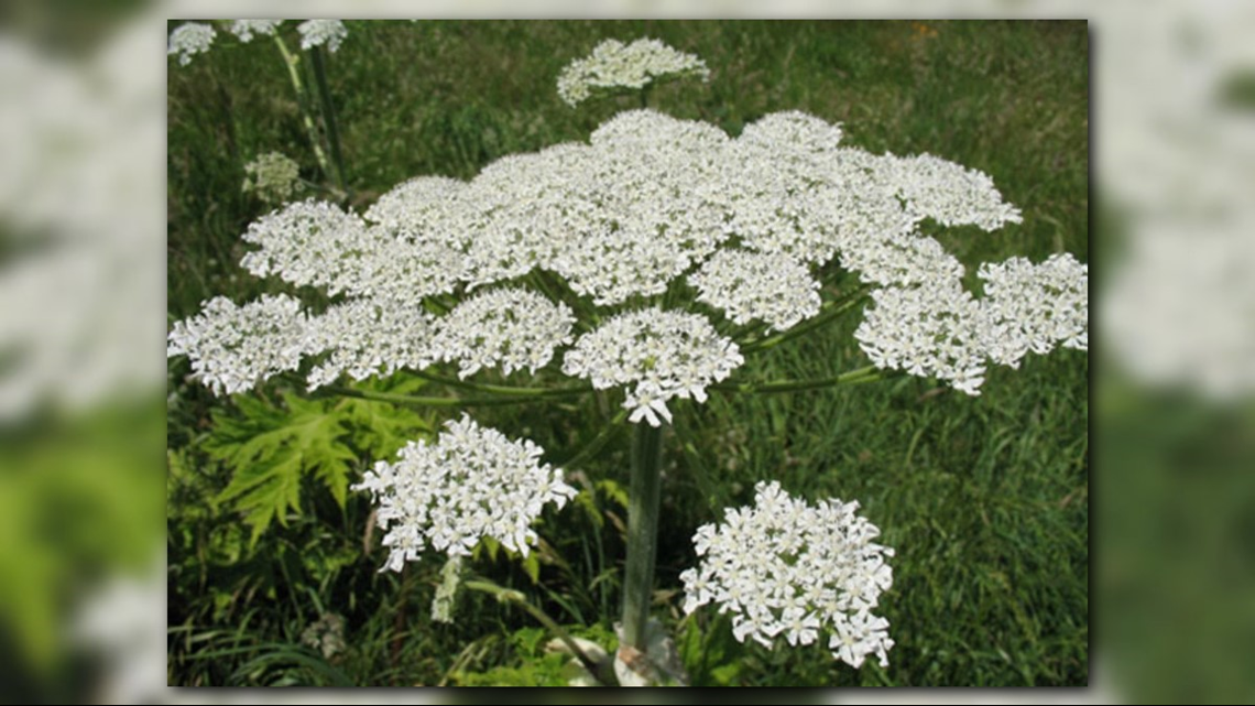 How To Identify Dangerous Hogweed Plant That Can Burn Skin