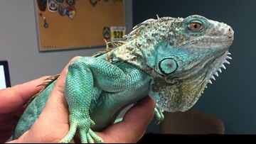 Man arrested in Ohio for trying to commit assault with iguana
