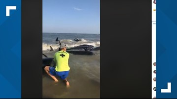 Video shows pod of whales beached on St. Simons Island, Ga.