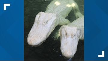 Albino alligators expecting babies at Florida park
