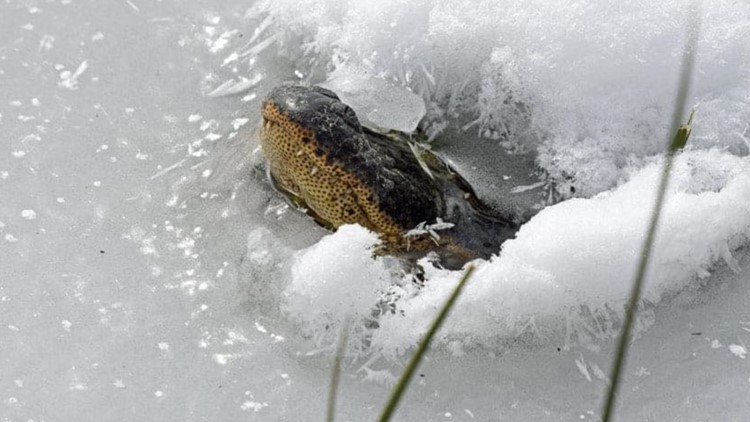 Gators poke snouts out of freezing Oklahoma water in an effort to breathe