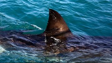 Great white shark drags fishing boat for miles across San Fransisco bay