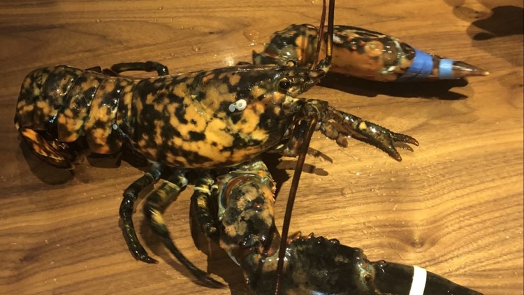 Rare lobster found at Red Lobster donated to living museum