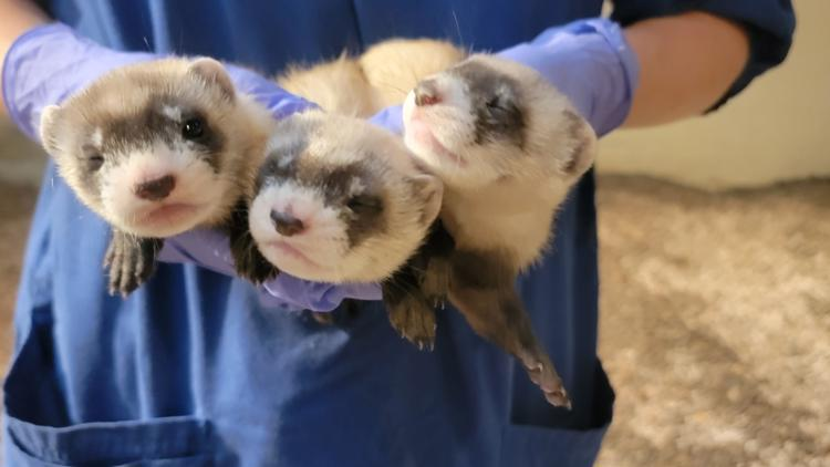 Smithsonian National Zoo wants YOU to name its newest black-footed ferret kits