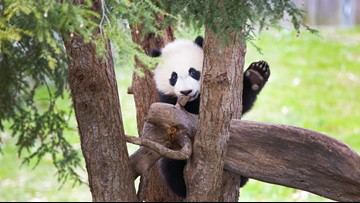 Here's how the National Zoo will FedEex Bei Bei the giant panda