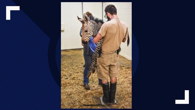Virginia Zoo's Newest Zebra