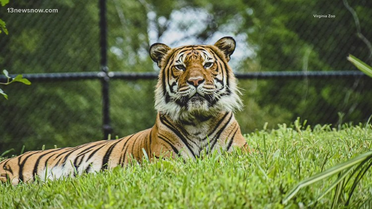 Two tigers at the Virginia Zoo test positive for COVID-19