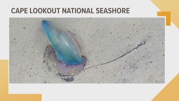 Portuguese Man-o-war washes up on OBX shore