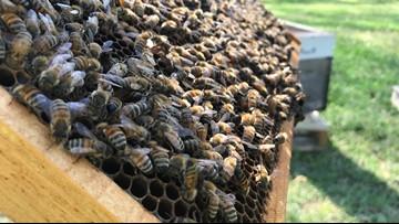 Honey bees swarming season hits Hampton Roads