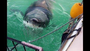 Two great white sharks surface near the Outer Banks