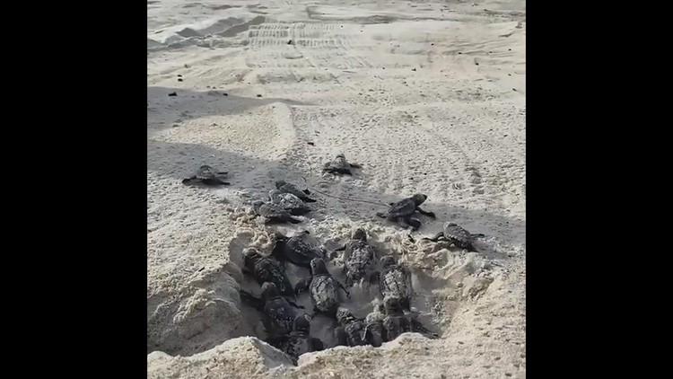 Sea turtle nest hatches on Cape Hatteras National Seashore