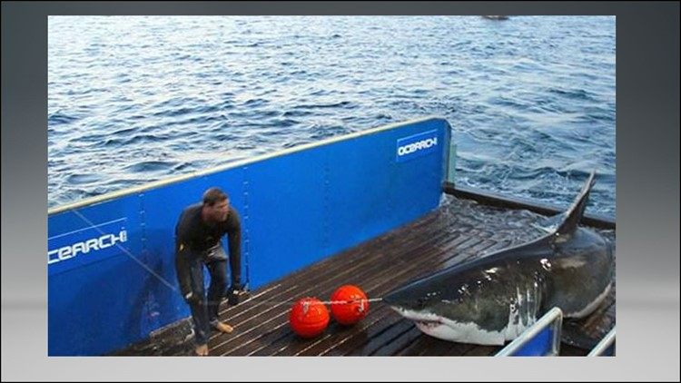 Mary Lee The Great White Shark Pings Off Outer Banks 13newsnow Com