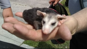 Duke University struggles to catch opossum lording over dorm