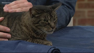Shelter Sunday: Meet Jax the cat! He's looking for his forever home.
