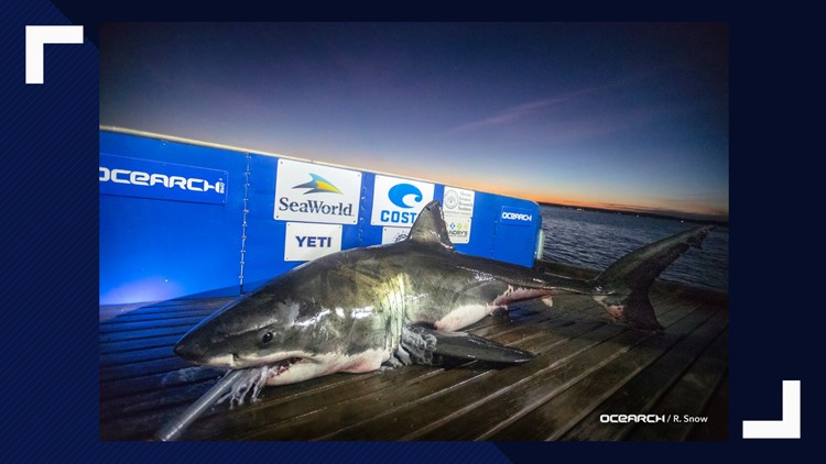 Luna 15 Foot White Shark Headed Toward Outer Banks 13newsnow Com