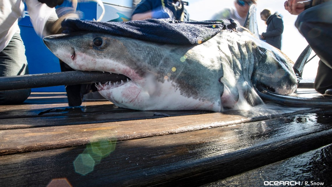 Two Great White Sharks Surface Near The Outer Banks 13newsnow Com