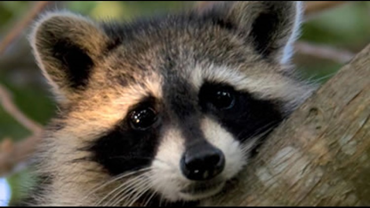 Rabid raccoon found in South Bayview Area in Norfolk