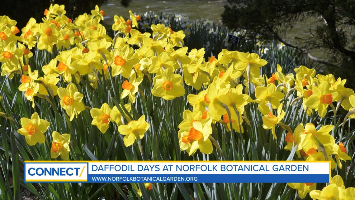 CONNECT with Norfolk Botanical Garden: Peak daffodil season