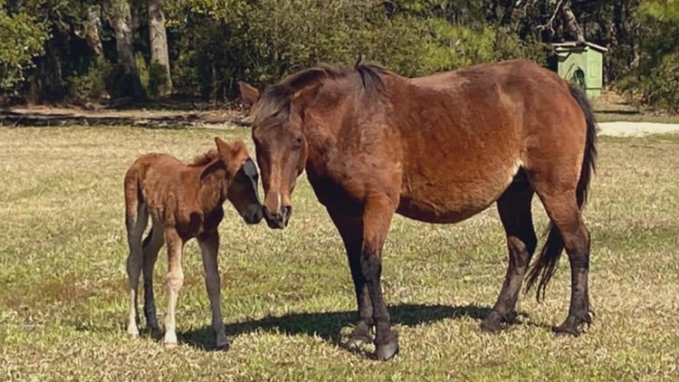 Corolla Wild Horse Fund welcomes new foal, Betsy