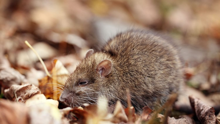 Cooler weather means the rats are out