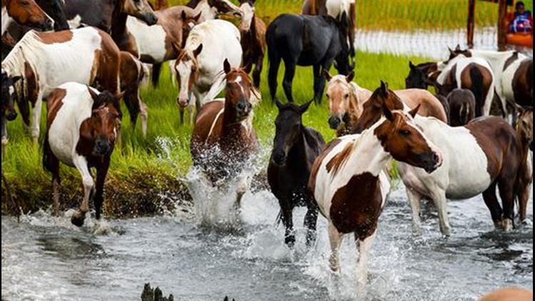 Chincoteague pony swim canceled again because of pandemic