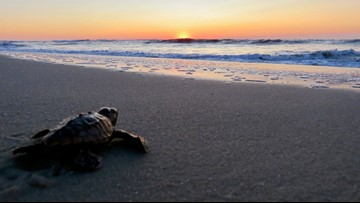 NC protection program says vandal dug up loggerhead sea turtle nest