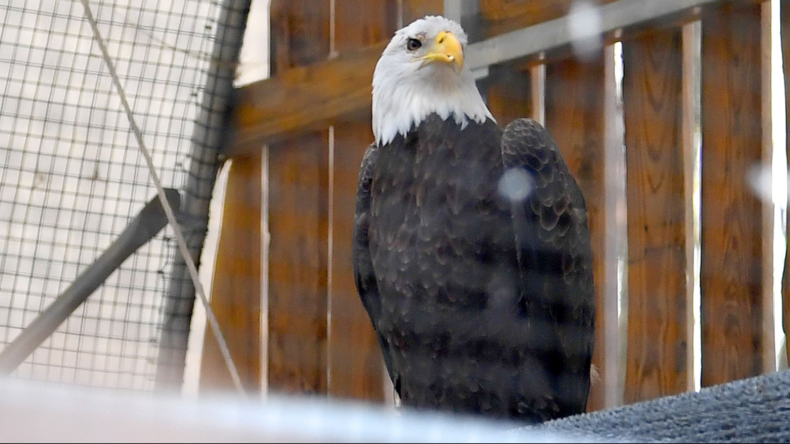 Happy birthday, Buddy: Bald eagle from Norfolk Botanical Garden turns 10 | 13newsnow.com