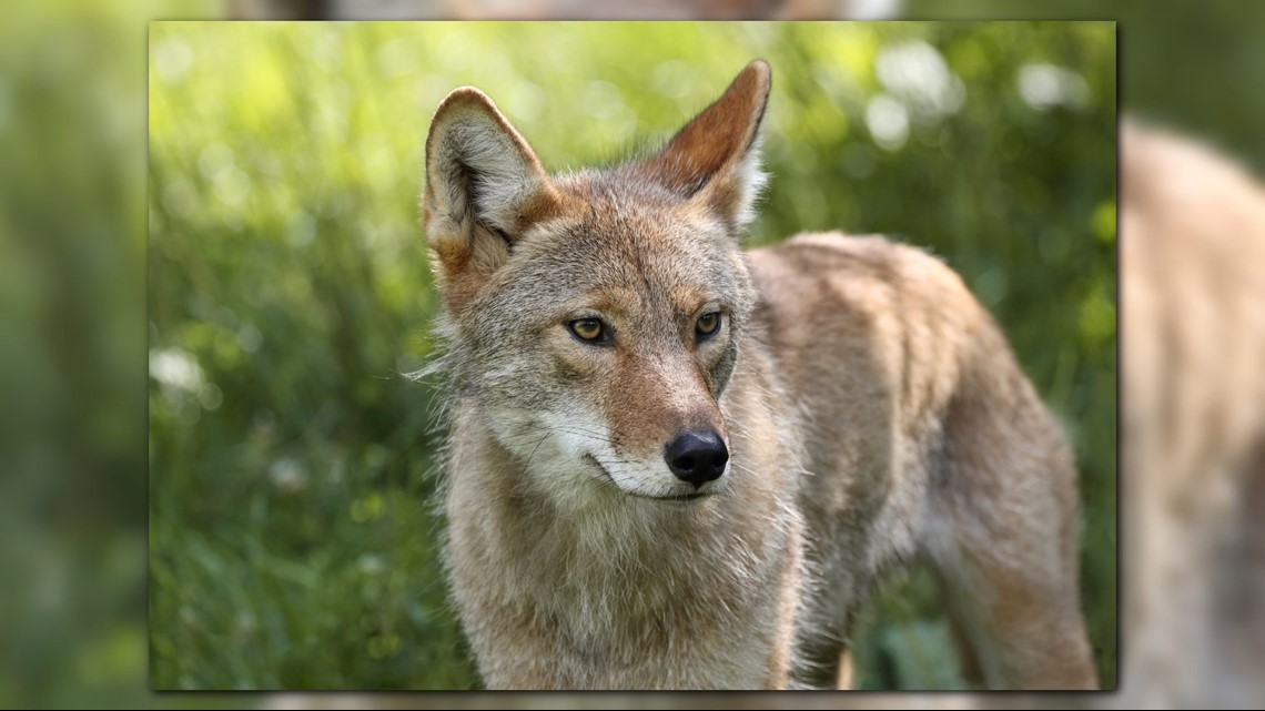food left out at first landing state park attracts coyotes