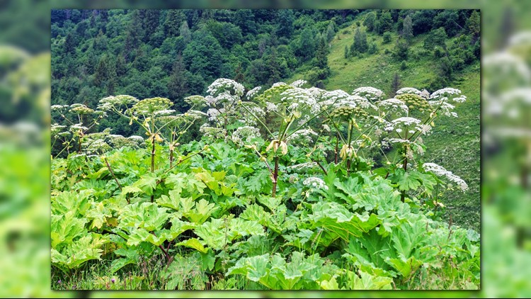 The dangerous and invasive species Giant Hogweed has been spotted in Virginia!