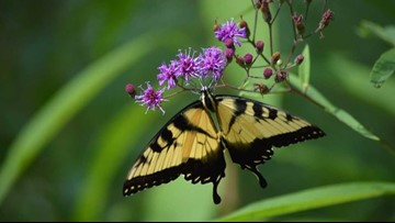 Norfolk Botanical Gardens hosts 6th annual Butterfly Festival