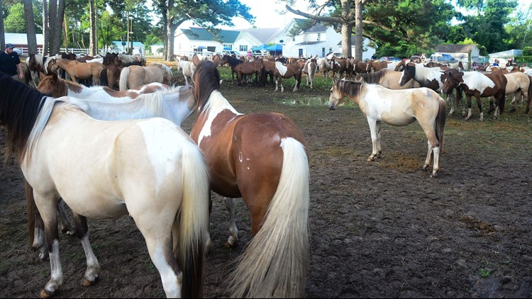 chincoteague pony2_1540209223251.png.jpg
