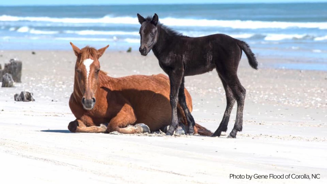 Oh Baby Corolla Wild Horse Fund Announces Birth Of Second Foal Of 2020 13newsnow Com
