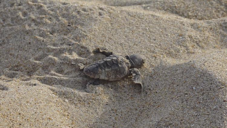 A sea turtle nest on Cape Hatteras National Seashore just erupted with 64 hatchlings
